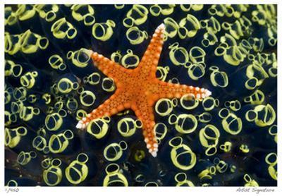 Sea Star on Sea Squirts Colony by Jones-Shimlock