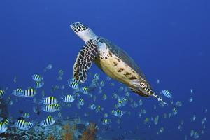 Hawksbill Turtle and Schooling Sergeants by Jones/Shimlock-Secret Sea Visions
