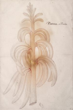 Plantain, C.1590