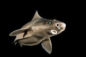 Angular Roughshark (Oxynotus Centrina) A Deepsea Species Living At 80-300M Depth by Jordi Chias