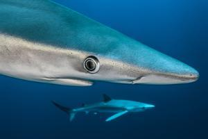 Blue Shark (Prionace Glauca) Close Up, Azores, Portugal by Jordi Chias