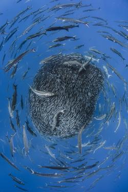European barracuda and Bluefish circling baitball of Atlantic horse mackerel, Azores by Jordi Chias