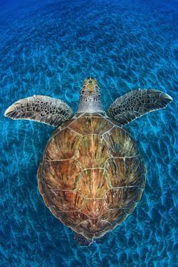 Green Turtle, (Chelonia Mydas), Swimming over Volcanic Sandy Bottom, Armenime Cove, Canary Islands by Jordi Chias