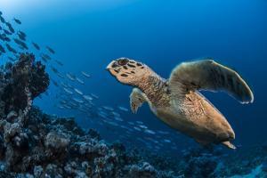Hawksbill turtle (Eretmochelys imbricata)  Port El Ghalib,  Egypt,  Red Sea by Jordi Chias