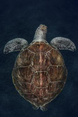 Juvenile Green Turtle (Chelonia Mydas) Armenime Cove, South Tenerife, Canary Island, Atlantic Ocean by Jordi Chias