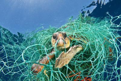 Loggerhead Turtle (Caretta Caretta) Trapped in a Drifting Abandoned Net, Mediterranean Sea