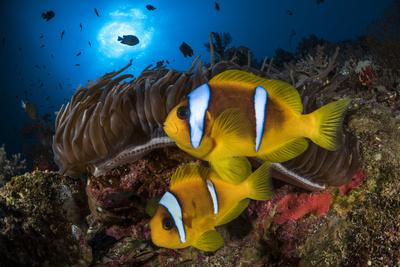 Red Sea anemonefish in Sea anemone, on a coral reef. Big Brother island, Red Sea