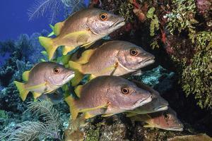 Schoolmaster snapper school in the reef, Little Cayman island, Cayman Islands, Caribbean by Jordi Chias