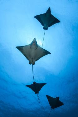 Spotted eagle ray school, Kagi kandhu, ;North Male Atoll, Maldives, Indian Ocean. by Jordi Chias