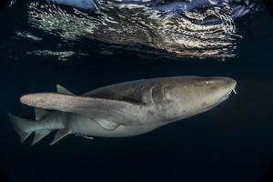 Tawny nurse shark (Nebrius ferrugineus) Vaavu Atoll, Maldives, Indian Ocean by Jordi Chias
