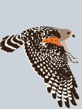 Red Shouldered Hawk by Jorey Hurley