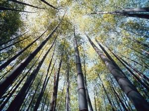Bamboo Trees in Rainforest, Japan by Jos? Fuste Raga