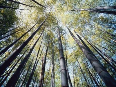 Bamboo Trees in Rainforest, Japan by José Fuste Raga