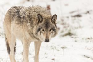 A Lone Grey Wolf in a Winter Setting by Josef Pittner