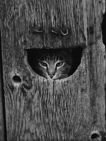 Cat Peeking Out from Barn