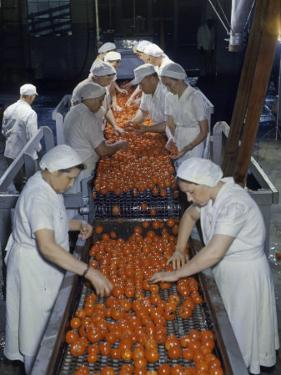 Tomato Factory Workers Remove Bruised Fruit from a Conveyor Belt by Joseph Baylor Roberts