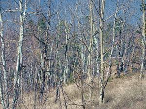 Pikes Peak Trees I by Joseph Charity