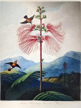 Thornton: Sensitive Plant by Joseph Constantine Stadler