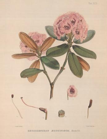 Aeruginosum by Joseph Dalton Hooker