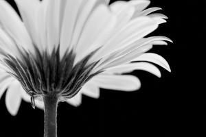Daisy Haze by Joseph Eta