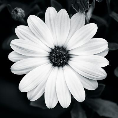 Daisy Light I