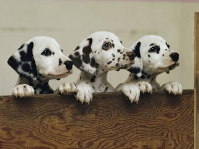 Three Inquisitive Dalmatian Puppies Peeking over a Board by Joseph H. Bailey