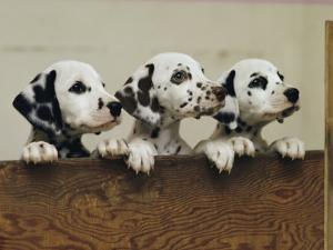Three Inquisitive Dalmatian Puppies Peeking over a Board by Joseph H. Bailey