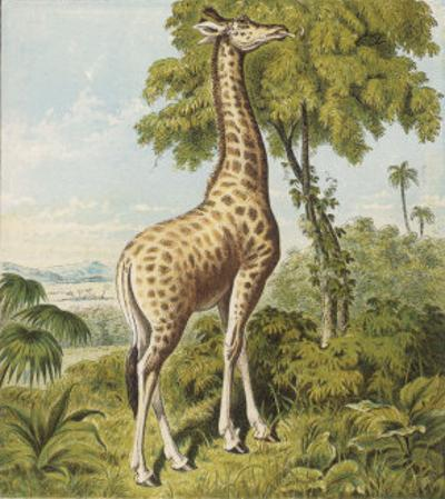 Giraffe Uses Its Dextrous Tongue to Pick off the Leaves from a Very Tall Tree by Joseph Kronheim