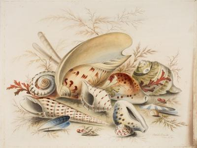 Study of Sea Shells, 1876