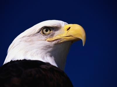 American Bald Eagle by Joseph Sohm