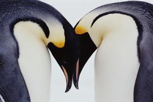 Two Emperor Penguins (Aptenodytes Forsteri) in Courtship Display by Joseph Van Os