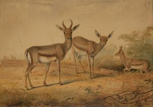 Persian Gazelle by Joseph Wolf