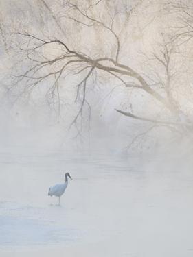 Hooded Crane Walks Through a Cold River under Hoarfrost-Covered Trees, Tsurui, Hokkaido, Japan by Josh Anon