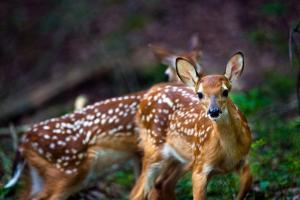 Two White-tailed Deer Fawns, Odocoileus Virginianus, in Their Habitat by Josh Howard