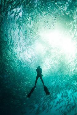 A scuba diver swims beneath a large school of horse eye jackfish by Josh Humbert