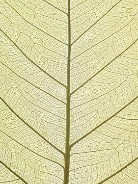 Leaf of a Poplar, Macro Shot by Josh Westrich
