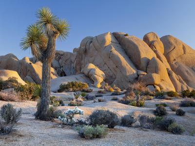 https://imgc.allpostersimages.com/img/posters/joshua-tree-and-boulder-formation-joshua-tree-np-california-usa_u-L-PXR6JY0.jpg?artPerspective=n