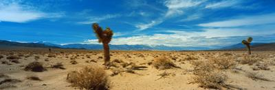 Joshua Tree in a Desert, Mojave Desert, California, USA