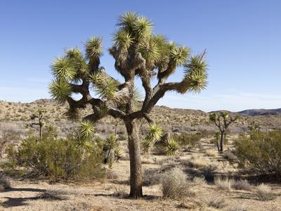 https://imgc.allpostersimages.com/img/posters/joshua-tree-joshua-tree-national-park-california-usa_u-L-PHAPAP0.jpg?p=0