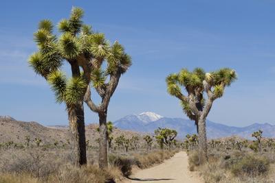 https://imgc.allpostersimages.com/img/posters/joshua-trees-and-mountains-joshua-tree-national-park-california-usa_u-L-PN6WFD0.jpg?p=0