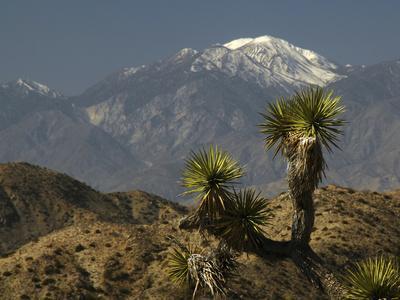 https://imgc.allpostersimages.com/img/posters/joshua-trees-in-winter-joshua-tree-national-park-california-usa_u-L-PXR82N0.jpg?p=0