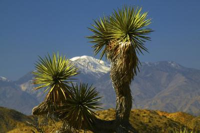 https://imgc.allpostersimages.com/img/posters/joshua-trees-joshua-tree-national-park-california-usa_u-L-PN6WL70.jpg?p=0