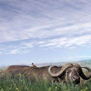 Buffalo (Syncerus Caffer) Migrating, the Serengeti by JoSon