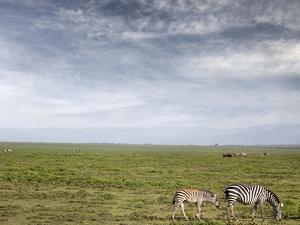 Zebras, Monther and Calf, the Great Plain by JoSon