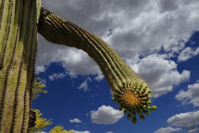 Saguaro cactus buds, Organ Pipe Cactus National Monument, Sonora Desert, Arizona, USA