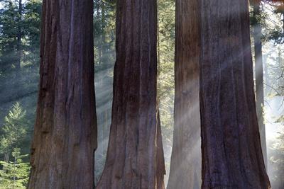 Trunks Of Giant Sequoia Trees (Sequoiadendron Giganteum) Sequoia National Park, California, USA