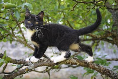 Young black domestic cat with white bib and paws, climbing tree, France