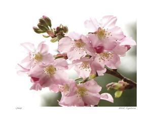 Cherry Blossoms II by Joy Doherty