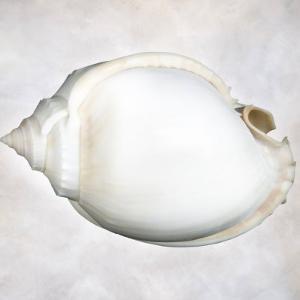 Still Life of a Shell by Joyce Tenneson