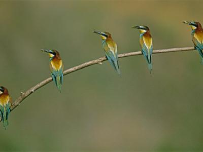 Beaks replete with prey, a band of bee eaters eye their nests nearby